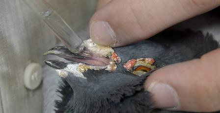 Desinfecção das narinas - pombos - produtos para pombos - produtos para columbofilia